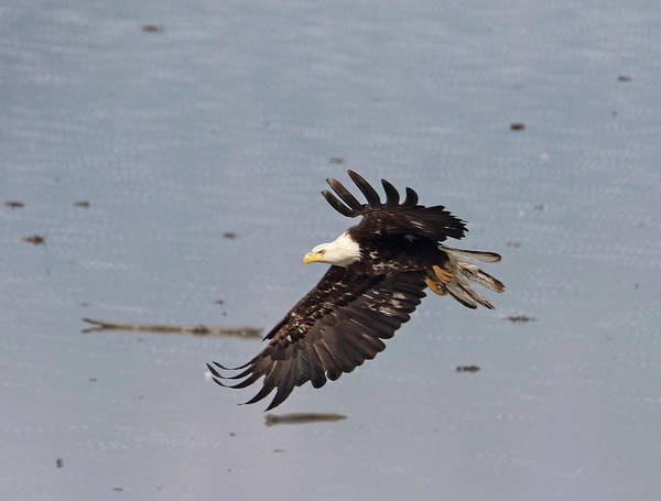 Photograph - Valdez Eagle Two by Jean Clark