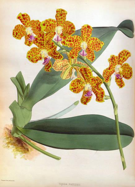 Painting - Vanda Parishii Orange Speckled Lindenia Orchid by Jen Jules Linden