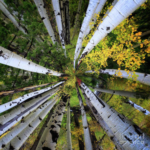 Photograph - Variations On An Aspen Canopy by Doug Sturgess