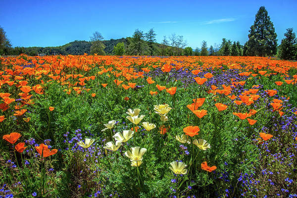 Photograph - Varied Poppies At The Oak Glen Preserve by Lynn Bauer