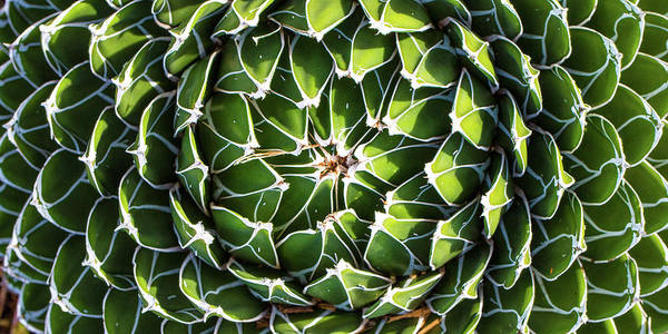 Photograph - Variegated Succulent by Mark Shoolery