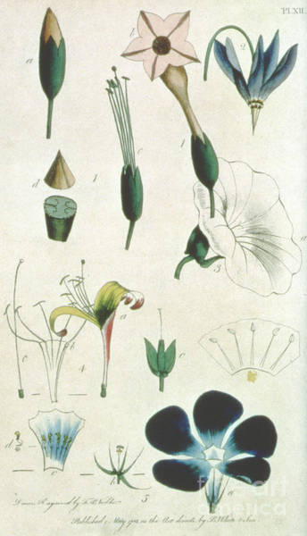 Petals Drawing - Various Flowers With Five Stamens, Illustrating Elements Of Botany As Explained By Carolus Linnaeus by Frederick Polydor Nodder
