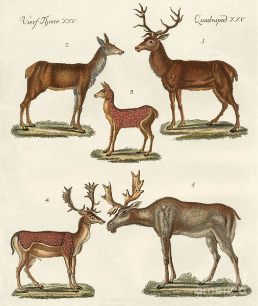 Antlers Drawing - Various Kinds Of Deer by German School