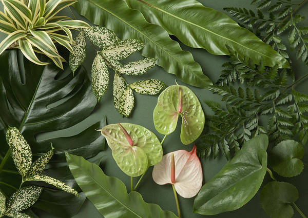 Anthurium Photograph - Various Leaves by Imagenavi
