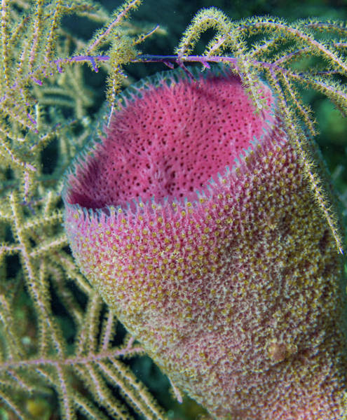 Photograph - Vase Sponge With Zoanthid by Jean Noren