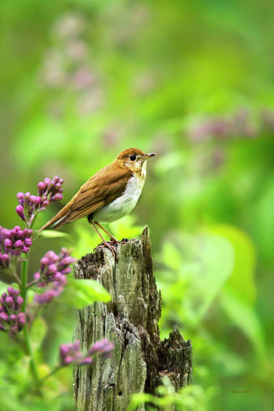 Photograph - Veery Bird by Christina Rollo