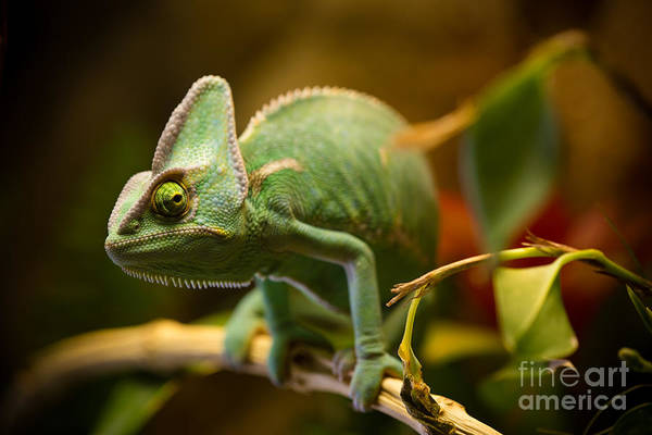Wall Art - Photograph - Veiled Chameleon Chamaeleo Calyptratus by Lukas Gojda