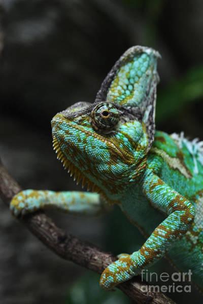 Wall Art - Photograph - Veiled Chameleon Chamaeleo Calyptratus by Vladimir Wrangel