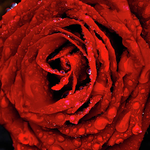 Photograph - Velvet Rose by Shane Bechler