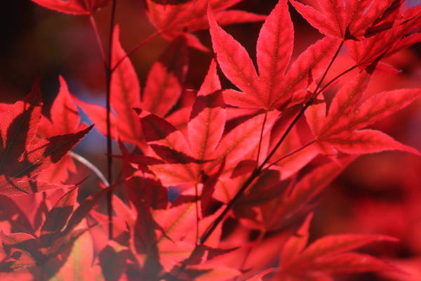 Photograph - Venetian Red Japanese Maple Leaves by Colleen Cornelius