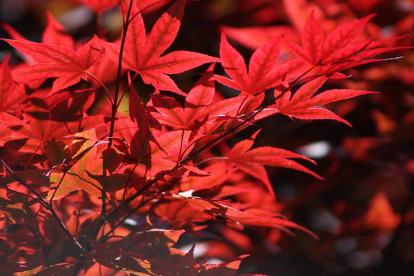 Photograph - Venetian Red Japanese Maple Tree Branch by Colleen Cornelius