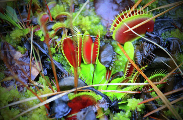 Photograph - Venus Flytrap by Cynthia Guinn