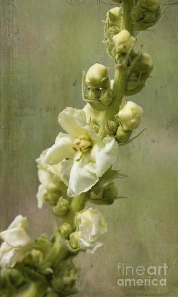 Digital Art - Verbascum Flowers by Liz Alderdice