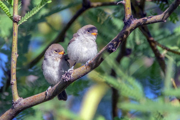 Photograph - Verdin Juveniles 7662-042119 by Tam Ryan