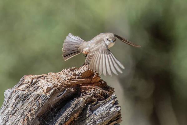 Photograph - Vermilion Flycatcher 3907-053019 by Tam Ryan