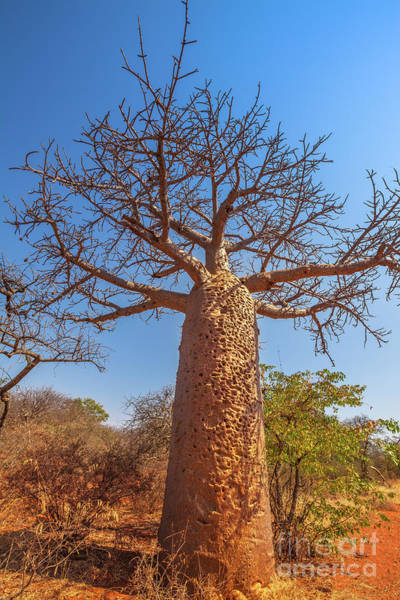 Photograph - vertical Baobab tree in Limpopo by Benny Marty
