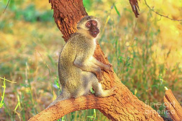 Photograph - Vervet Monkey On A Tree by Benny Marty