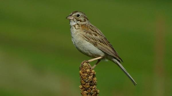 Photograph - Vesper Sparrow by Dan Miller