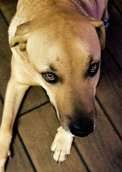 Service Dog Photograph - Veteran's Service Dog With Beautiful Eyes by Shirley Anderson