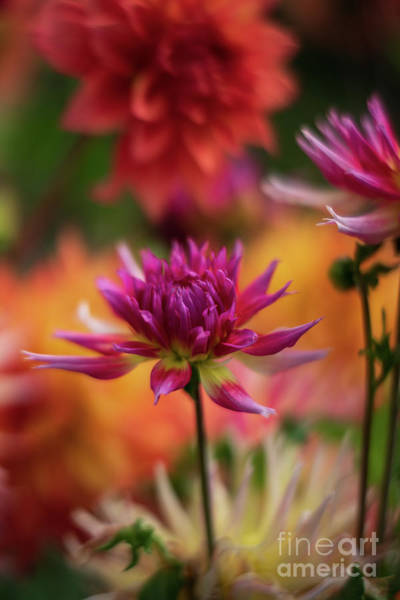 Wall Art - Photograph - Vibrant Dahlia Montage by Mike Reid