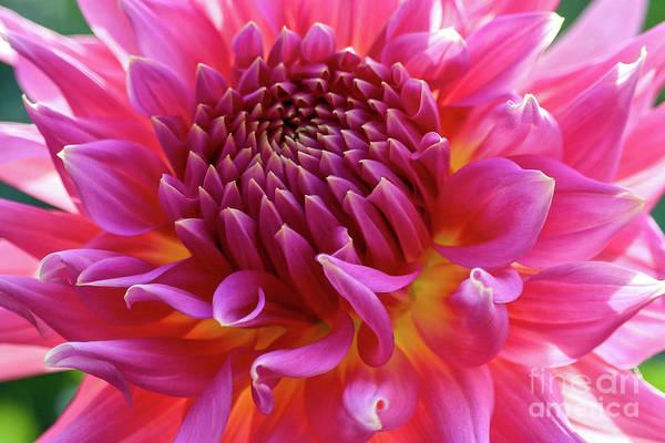 Photograph - Vibrant Dahlia by Susan Rydberg