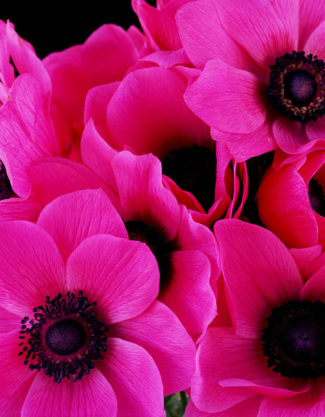 Wall Art - Photograph - Vibrant Pink Anemone Flowers by Lisa Charles Watson