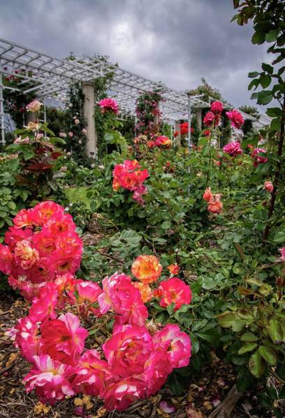 Photograph - Vibrant Roses Under Stormy Skies At The Garden by Lynn Bauer