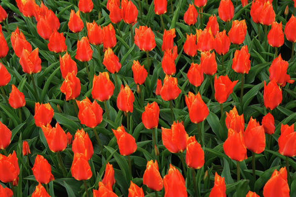 Photograph - Vibrant Tapestry Of Red Orange Tulips by Jenny Rainbow