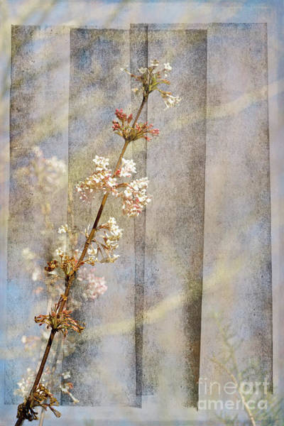 Digital Art - Viburnum Flowers 1 by Liz Alderdice