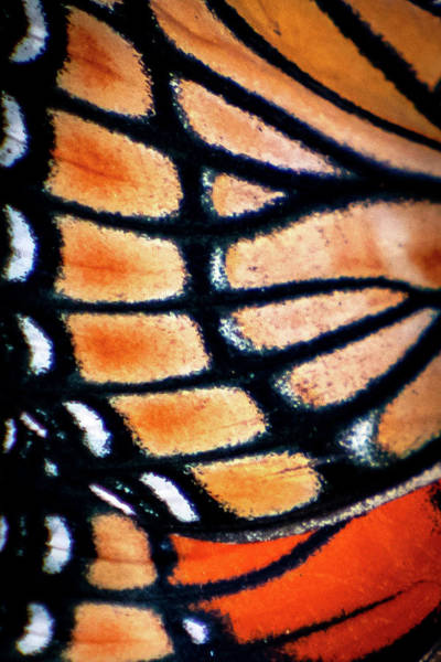 Photograph - Viceroy by Jeff Phillippi