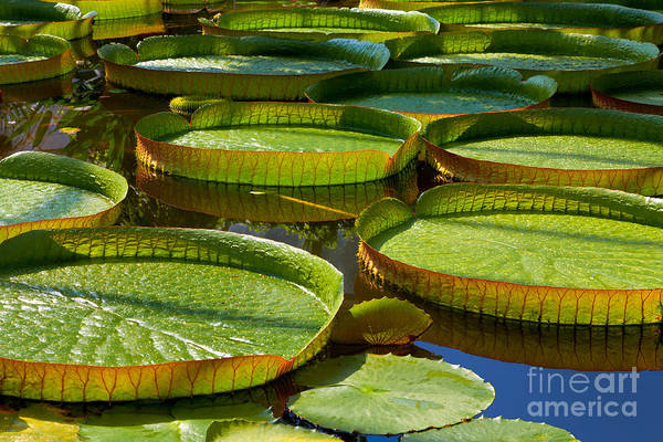 Bed Wall Art - Photograph - Victoria Amazonica. Victoria Regia by Artens
