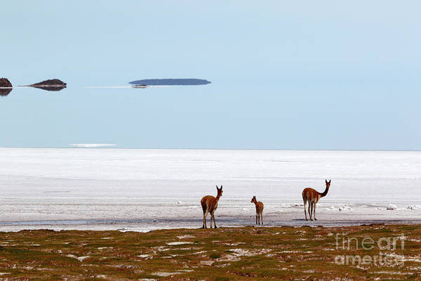 Photograph - Vicuna Family On Shore Of The Salar De Uyuni Bolivia by James Brunker