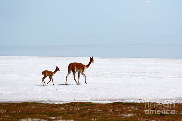 Wall Art - Photograph - Vicunas On Shore Of The Uyuni Salt Flats Bolivia by James Brunker