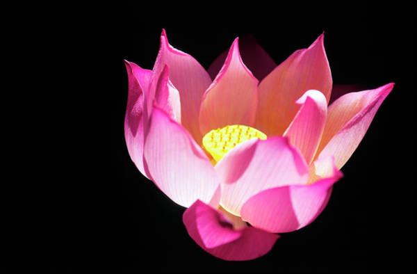 Wall Art - Photograph - Vietnam, Lotus by Body Philippe / Hemis.fr