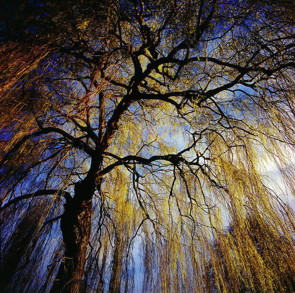 Weeping Willow Wall Art - Photograph - View From Within The Canopy Of A by Aaron Mccoy