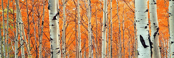 Wall Art - Photograph - View Of Aspen Trees, Granite Canyon by Panoramic Images