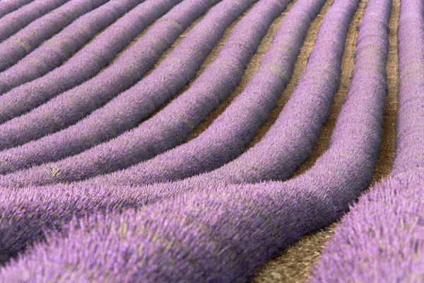 Cultivate Photograph - View Of Cultivated Lavender Field by Michele Berti