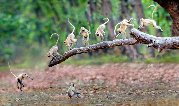 Wall Art - Photograph - View Of Group Of Langur Monkeys by Panoramic Images
