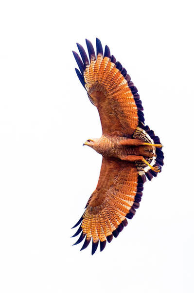 Wall Art - Photograph - View Of Savannah Hawk Flying by Panoramic Images