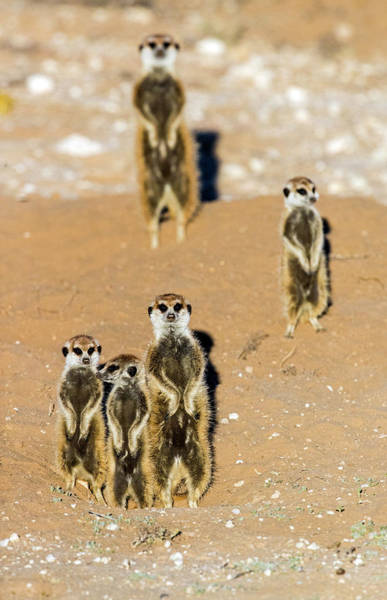 Wall Art - Photograph - View Of Standing Meerkats Suricata by Panoramic Images