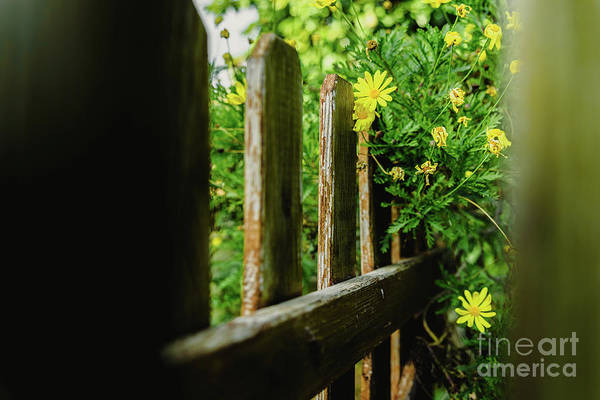 Photograph - View Through The Aged Wooden Fences Of A Garden Of Yellow Daisy Bushes, Euryops Pectinatus, During The Spring. by Joaquin Corbalan