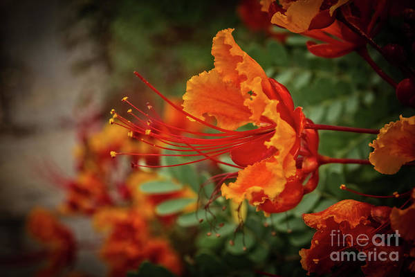 Wall Art - Photograph - Vignetted Mexican Bird Of Paradise by Robert Bales