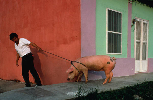 Pulling Photograph - Villager Pulling Pig On Rope by Jeffrey Becom