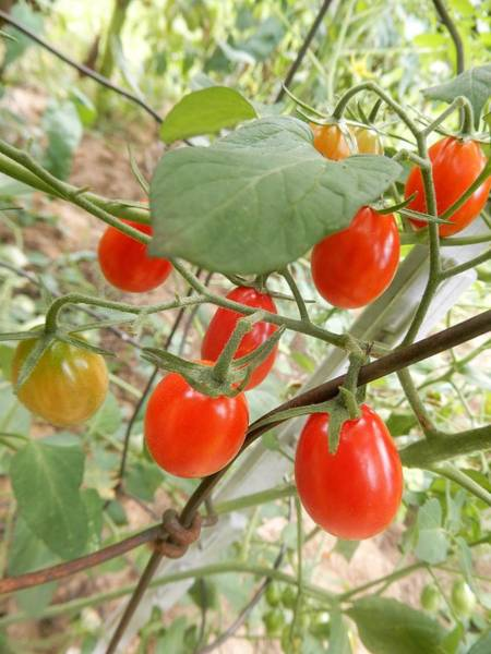 Photograph - Vine Ripe Grape Tomatoes by Tina M Wenger