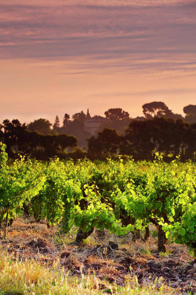 Chateauneuf Photograph - Vineyard In Chateauneuf Du Pape by Howardoates