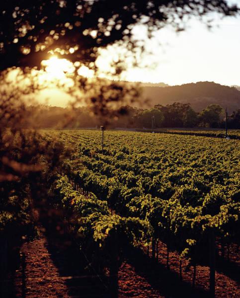 Napa Valley Photograph - Vineyard, Napa Valley, California, Usa by Lisa Romerein