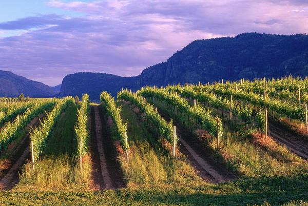 Okanagan Photograph - Vineyard, Okanagan, British Columbia by Radius Images