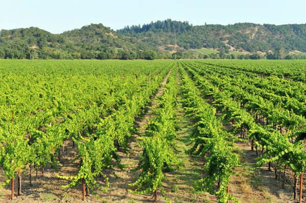 Sonoma County Photograph - Vineyard by Pchoui