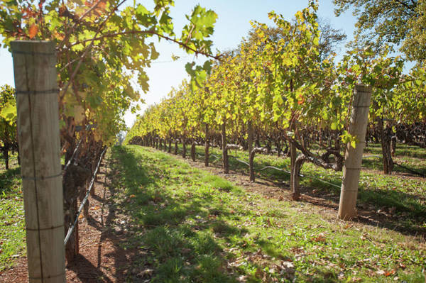 Photograph - Vineyard Rows by Mark Duehmig