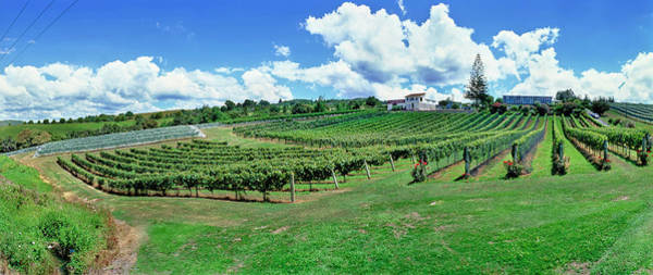 Wall Art - Photograph - Vineyard, Whangarei, Northland, New by Panoramic Images